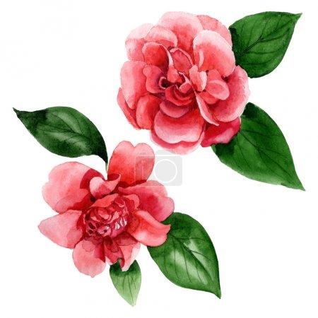 Photo pour Fleurs roses de camélia avec des feuilles vertes d'isolement sur le blanc. Éléments d'illustration de fond d'aquarelle. - image libre de droit