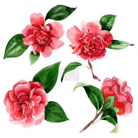 Foto de Pink camellia flowers with green leaves isolated on white. Watercolor background illustration elements. - Imagen libre de derechos