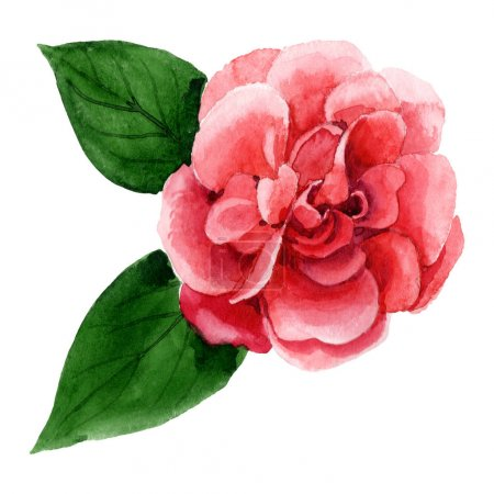 Photo pour Fleur rose de camélia avec des feuilles vertes d'isolement sur le blanc. Élément d'illustration de fond d'aquarelle. - image libre de droit