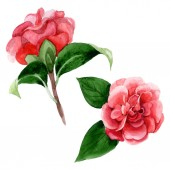 """Постер, картина, фотообои """"Pink camellia flowers with green leaves isolated on white. Watercolor background illustration elements."""""""