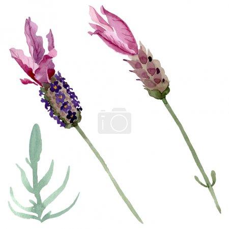 Photo pour Fleurs botaniques florales violettes lavande. Feuille sauvage de printemps fleur sauvage isolée. Ensemble d'illustration de fond aquarelle. Aquarelle dessin mode aquarelle. Elément d'illustration lavande isolé . - image libre de droit