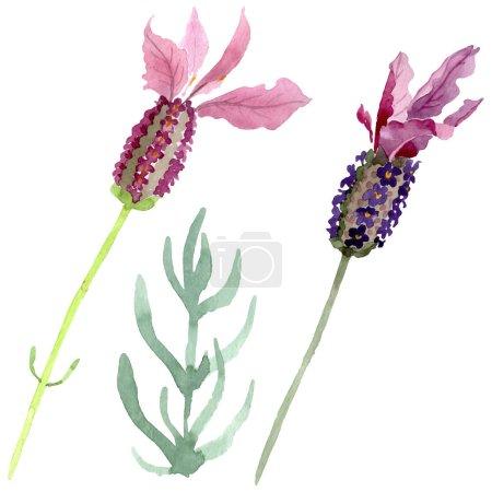 Foto de Flores botánicas florales de lavanda púrpura. Hoja de primavera silvestre wildflower aislado. Conjunto de ilustraciones de fondo de acuarela. Acuarela dibujando moda acuarela. Elemento de ilustración de lavanda aislado. - Imagen libre de derechos