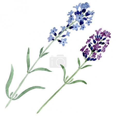 Foto de Flor botánica floral de lavanda violeta. Hoja de primavera silvestre wildflower aislado. Conjunto de fondo de acuarela. Acuarela dibujando moda acuarela. Elemento de ilustración de lavanda aislado. - Imagen libre de derechos