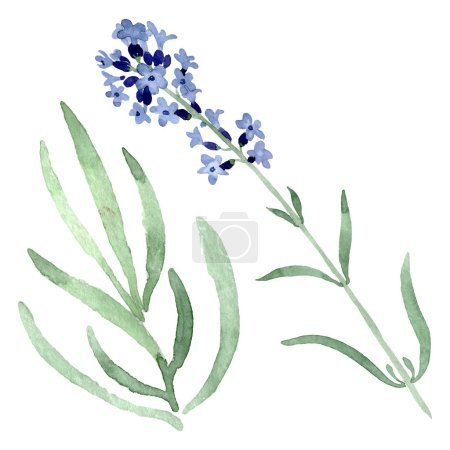 Photo for Violet lavender floral botanical flower. Wild spring leaf wildflower isolated. Watercolor background set. Watercolour drawing fashion aquarelle. Isolated lavender illustration element. - Royalty Free Image
