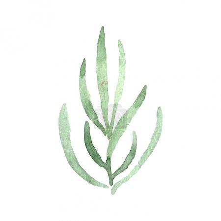 Photo pour La lavande verte laisse une fleur botanique florale. Feuille sauvage de printemps fleur sauvage isolée. Ensemble de fond aquarelle. Aquarelle dessin mode aquarelle. Elément d'illustration lavande isolé . - image libre de droit