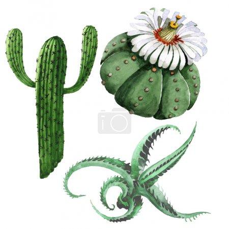 Photo pour Fleurs botaniques florales de cactus vert. Fleurs sauvages sauvages de printemps isolées. Ensemble d'illustration de fond aquarelle. Aquarelle dessin mode aquarelle isolé. Élément d'illustration de cactus isolés . - image libre de droit