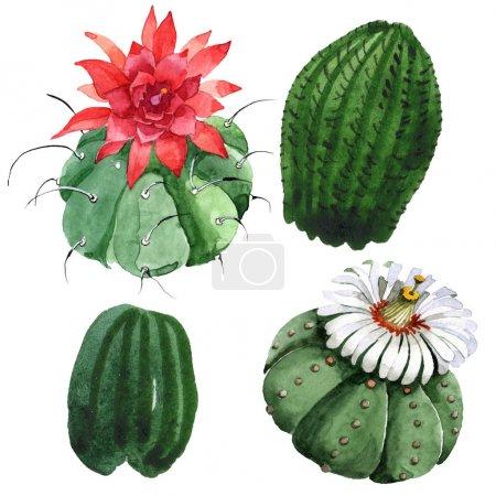 Photo pour Fleur botanique florale de cactus vert. Fleur sauvage de source sauvage d'isolement. Ensemble d'illustration de fond d'aquarelle. Aquarelle de mode de dessin d'aquarelle d'aquarelle d'aquarelle. Élément isolé d'illustration de cactus. - image libre de droit