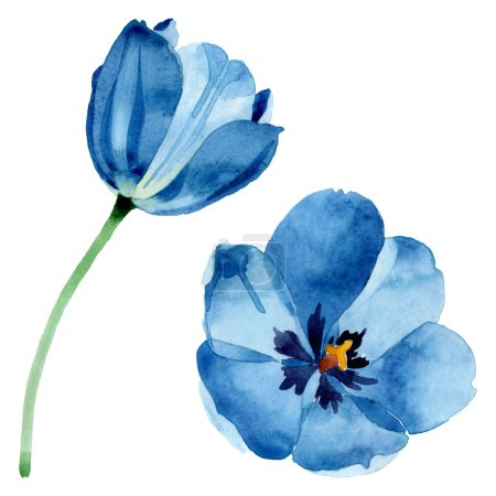 Photo pour Fleurs botaniques florales bleues de tulipe. Fleur sauvage de neige sauvage de feuille de source d'isolement. Ensemble d'illustration de fond d'aquarelle. Aquarelle de mode de dessin d'aquarelle d'aquarelle d'aquarelle. Élément d'illustration de tulipe d'isolement. - image libre de droit