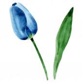 "Постер, картина, фотообои ""Blue tulip floral botanical flowers. Watercolor background illustration set. Isolated tulip illustration element."""