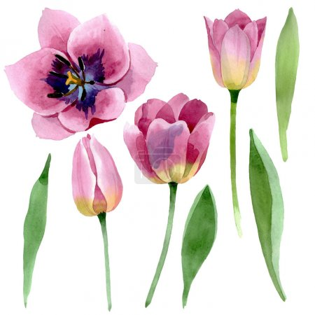 Photo pour Tulipes roses fleurs botaniques florales. Fleur sauvage de neige sauvage de feuille de source d'isolement. Ensemble de fond d'aquarelle. Aquarelle de dessin à l'aquarelle. Élément d'illustration de tulipes d'isolement. - image libre de droit