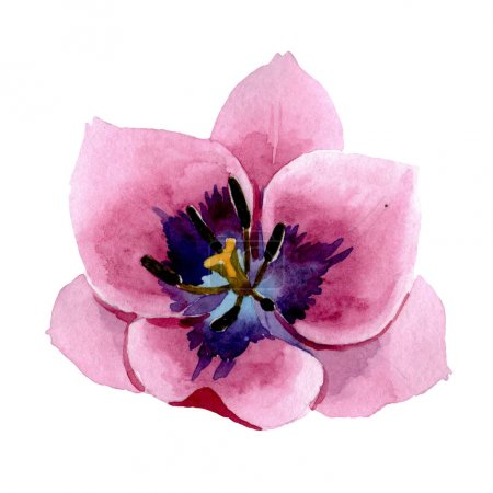 Photo for Pink tulips floral botanical flowers. Wild spring leaf wildflower isolated. Watercolor background set. Watercolour drawing fashion aquarelle. Isolated tulips illustration element. - Royalty Free Image