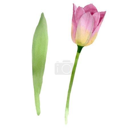 Photo pour Tulipes roses fleurs botaniques florales. Fleur sauvage de neige sauvage de feuille de source d'isolement. Ensemble de fond d'aquarelle. Aquarelle de dessin à l'aquarelle. Élément d'illustration de tulipes d'isolement. - image libre de droit