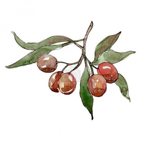 Olivenzweig mit schwarzen und grünen Früchten. Aquarell Hintergrundillustration Set. isolierte Oliven Illustrationselement.
