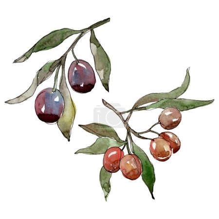 Photo for Olive branch with black and green fruit. Watercolor background illustration set. Watercolour drawing fashion aquarelle isolated. Isolated olives illustration element. - Royalty Free Image