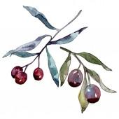 """Постер, картина, фотообои """"Оливковая ветвь с черными и зелеными фруктами. Набор фоновых иллюстраций акварели. Элемент иллюстрации изолированных оливок."""""""