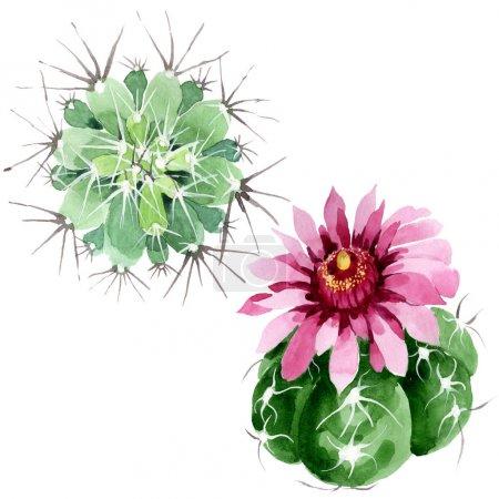 Photo pour Fleurs botaniques florales de cactus vert. Feuille sauvage de printemps fleur sauvage isolée. Ensemble d'illustration de fond aquarelle. Aquarelle dessin mode aquarelle. Élément d'illustration de cactus isolés . - image libre de droit