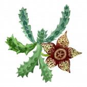 """Постер, картина, фотообои """"Зеленый кактус цветочный ботанический цветок. Набор фоновых иллюстраций акварели. Изолированный элемент иллюстрации кактусов."""""""