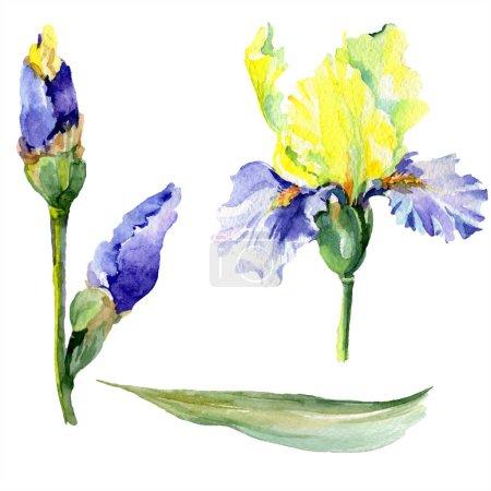 Foto de Iris amarillo púrpura. Flor botánica floral. Hoja de primavera silvestre wildflower aislado. Conjunto de ilustraciones de fondo de acuarela. Acuarela dibujo moda acuarela aislada. - Imagen libre de derechos