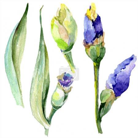 Photo pour Iris jaune pourpre. Fleur botanique florale. Feuille sauvage de printemps fleur sauvage isolée. Ensemble d'illustration de fond aquarelle. Aquarelle dessin mode aquarelle isolé . - image libre de droit