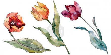 Photo pour Fleur botanique florale rouge de tulipe. Fleur sauvage de neige sauvage de feuille de source d'isolement. Ensemble d'illustration de fond d'aquarelle. Aquarelle de mode de dessin d'aquarelle d'aquarelle d'aquarelle. Élément d'illustration de tulipes d'isolement. - image libre de droit