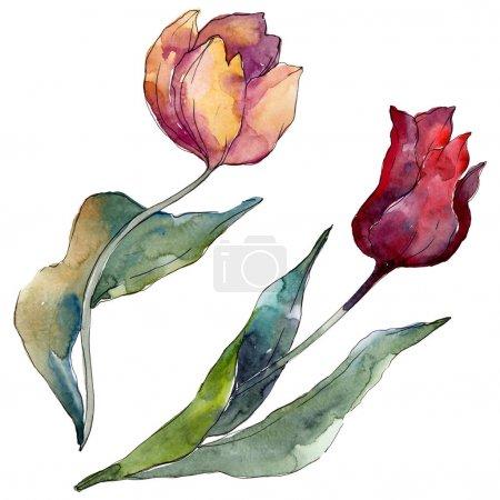 Photo pour Fleurs botaniques florales de tulipes. Feuille sauvage de printemps fleur sauvage isolée. Ensemble d'illustration de fond aquarelle. Aquarelle dessin mode aquarelle isolé. Élément d'illustration de tulipes isolées . - image libre de droit