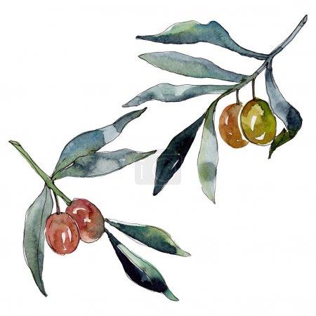 Olivenzweig mit grünen Früchten. Aquarell Hintergrundillustration Set. Aquarellzeichnung Modeaquarell isoliert. isolierte Oliven Illustrationselement.