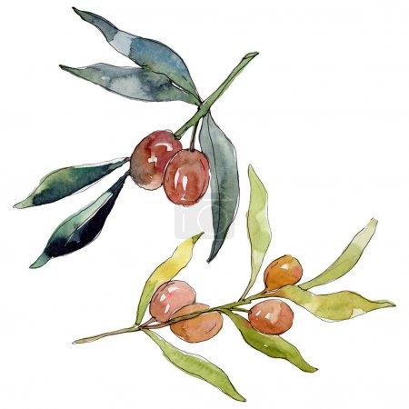 Photo pour Branche d'olivier aux fruits verts. Ensemble d'illustration de fond aquarelle. Aquarelle dessin mode aquarelle isolé. Elément d'illustration olives isolées . - image libre de droit
