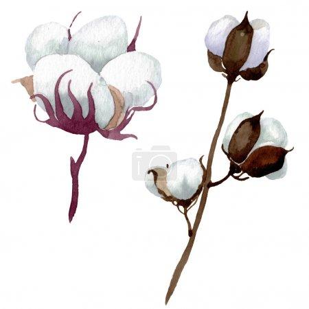 Photo pour Fleurs botaniques florales de coton blanc. Fleur sauvage sauvage de feuille de source. Ensemble d'illustration de fond d'aquarelle. Aquarelle de dessin à l'aquarelle. Élément isolé d'illustration de coton. - image libre de droit