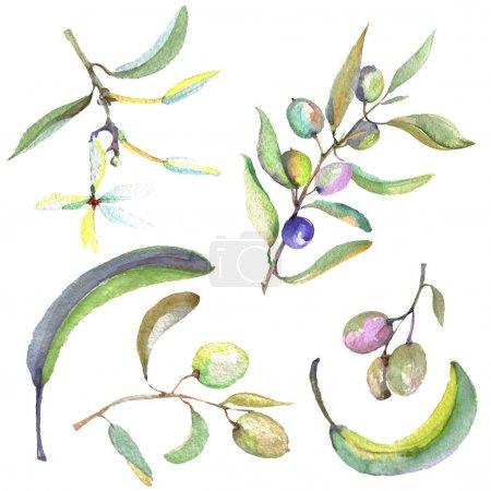 Photo pour Branche d'olivier aux fruits noirs et verts. Ensemble d'illustration de fond aquarelle. Aquarelle dessin mode aquarelle isolé. Elément d'illustration olives isolées . - image libre de droit