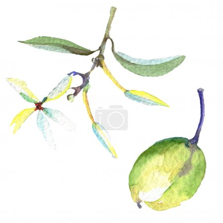 Olive branch with black and green fruit. Watercolor background illustration set. Isolated olives illustration element.