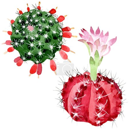 Photo pour Cactus rouges et verts d'isolement sur l'ensemble blanc d'illustration d'aquarelle. - image libre de droit