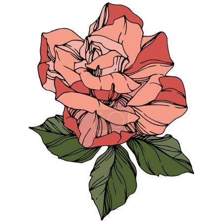 Illustration for Vector Rose. Floral botanical flower. Coral color engraved ink art. Isolated rose illustration element. - Royalty Free Image