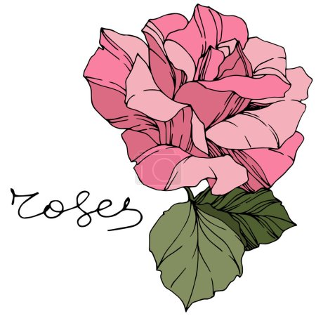 Beautiful Rose Flower. Pink color engraved ink art. Isolated rose illustration element. Wildflower with green leaves isolated on white.
