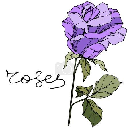 Vector Rose. Floral botanical flower. Purple color engraved ink art. Isolated rose illustration element.