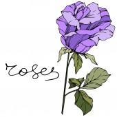 Vector Rose Floral botanical flower Purple color engraved ink art Isolated rose illustration element
