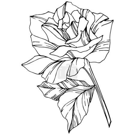 Illustration for Vector Rose. Floral botanical flower. Engraved ink art. Isolated rose illustration element. Beautiful spring wildflower isolated on white. - Royalty Free Image
