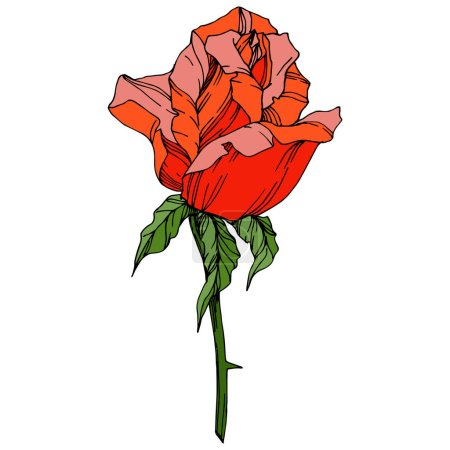 Illustration for Vector Rose flower. Floral botanical flower. Orange color engraved ink art. Isolated rose illustration element. Beautiful spring wildflower isolated on white. - Royalty Free Image