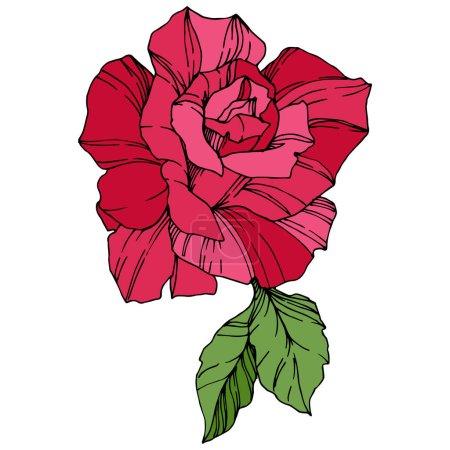 Illustration for Beautiful Rose Flower. Floral botanical flower. Red engraved ink art. Isolated rose illustration element - Royalty Free Image