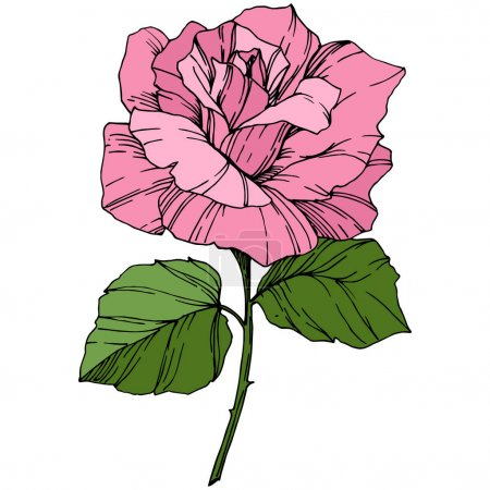 Illustration for Beautiful Rose Flower. Pink color engraved ink art. Isolated rose illustration element. Wildflower with green leaves isolated on white. - Royalty Free Image