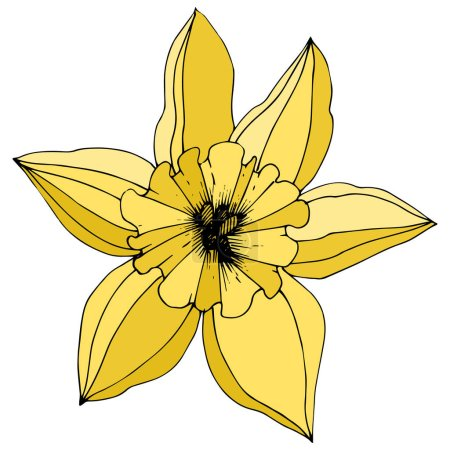 Vector Narcissus. Floral botanical flower. Yellow engraved ink art. Isolated narcissus illustration element on white background.