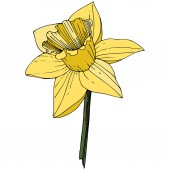 Vector Narcissus Floral botanical flower Yellow engraved ink art Isolated narcissus illustration element on white background