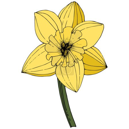 Illustration for Vector Narcissus. Floral botanical flower. Yellow engraved ink art. Isolated narcissus illustration element on white background. - Royalty Free Image