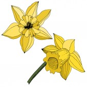 Vector Narcissus flowers. Yellow engraved ink art. Isolated daffodils illustration element on white background.