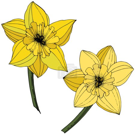 Illustration for Vector Narcissus flowers. Yellow engraved ink art. Isolated daffodils illustration element on white background. - Royalty Free Image