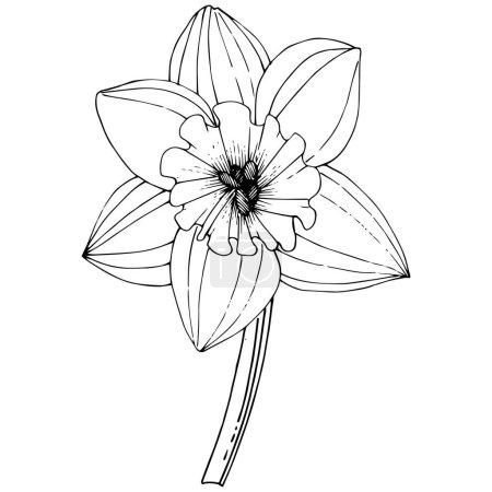 Illustration for Vector Narcissus flower. Floral botanical flower. Black and white engraved ink art. Isolated narcissus illustration element on white background. - Royalty Free Image