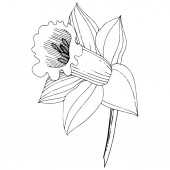 Vector Narcissus flower Floral botanical flower Black and white engraved ink art Isolated narcissus illustration element on white background