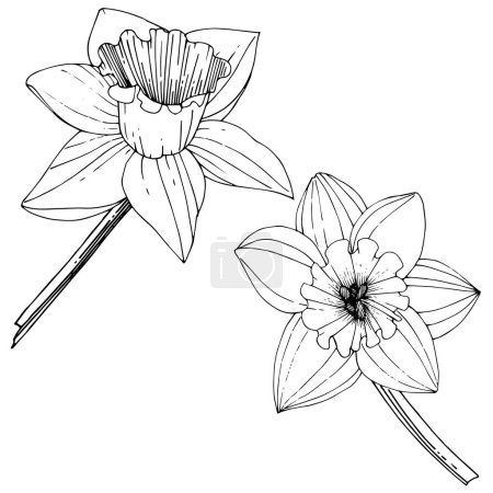Vector Narcissus flowers. Black and white engraved ink art. Isolated daffodils illustration element on white background.
