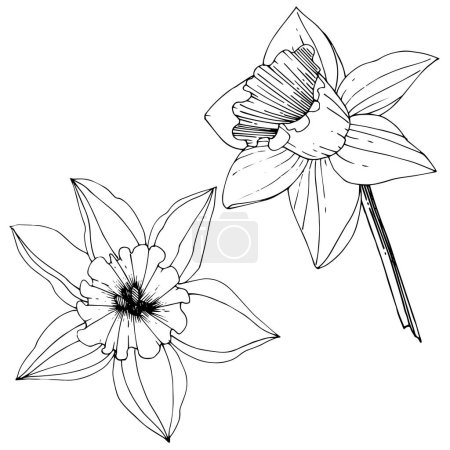 Illustration for Vector Narcissus flowers. Black and white engraved ink art. Isolated daffodils illustration element on white background. - Royalty Free Image