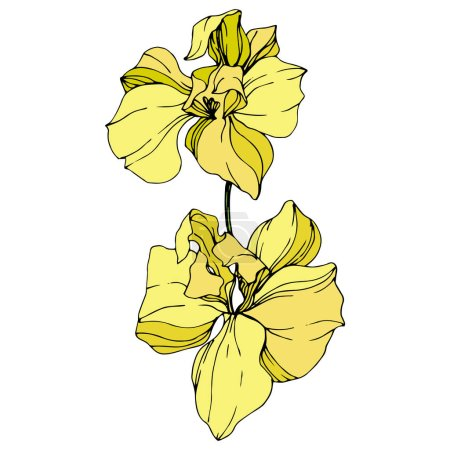 Beautiful yellow orchid flowers isolated on white. Yellow isolated orchids illustration element on white background.