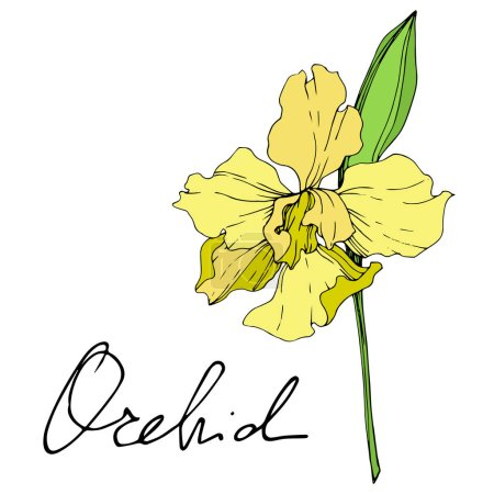 Illustration for Beautiful yellow orchid flower isolated on white. Yellow isolated orchid illustration element on white background. - Royalty Free Image